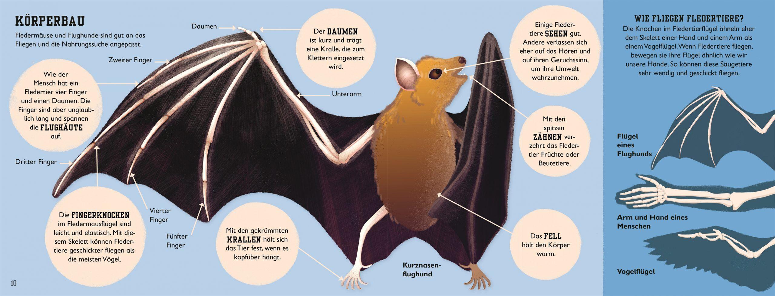 7001002 DK Fledermaus - Sachbuch Tiere für Kinder - ab 5 Jahren - 9783831040605 - Körperbau